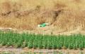 الشرطة انهت التحقيق بشأن 8 مشتبهين بزراعة وترويج المخدرات في ارجاء الدولة
