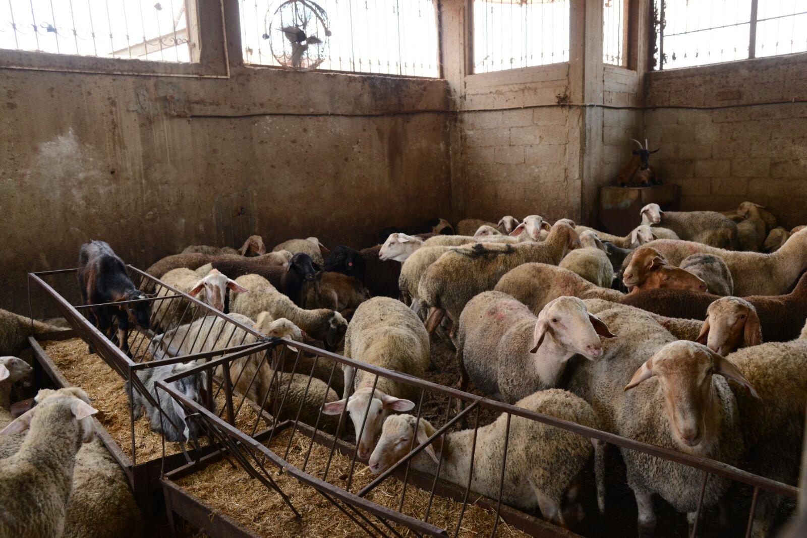 زكاة الناصرة تنفذ مشروع الأضاحي لهذا العام وتوزع نحو 3 أطنان من اللحوم على العائلات المستورة