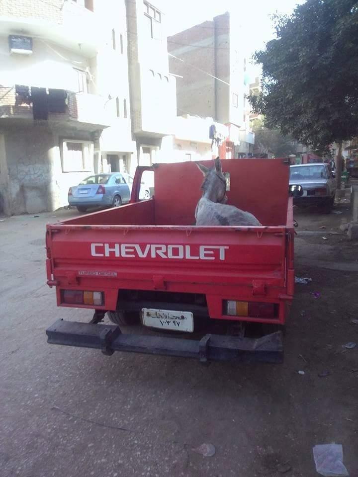 مصر: حمار أرشد عن صاحبه اللص وقد يقوده للسجن