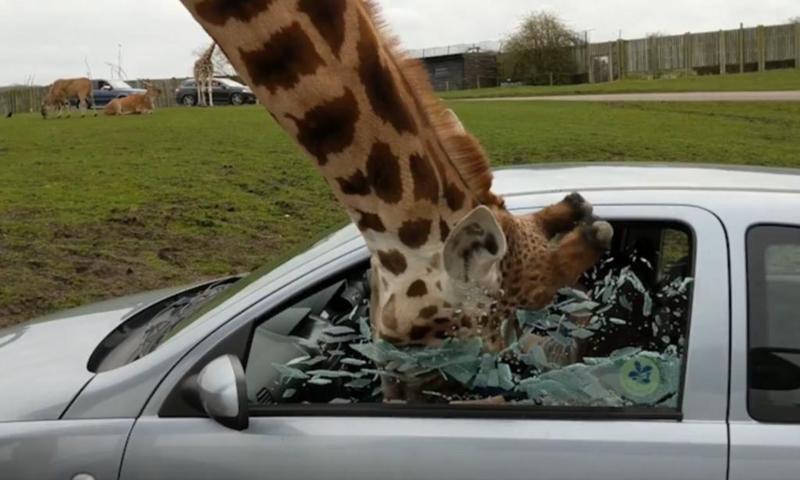 زرافة تفاجئ زوجين وتكسر زجاج سيارتهما
