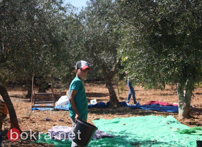 موسم زيتون متوسط بانتظار المزارعين في الضفة الغربية وقطاع غزة