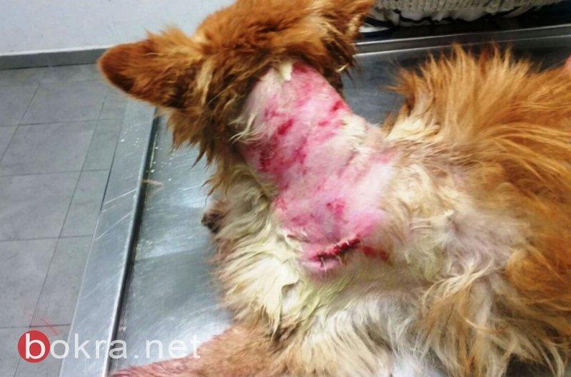   اكتشاف حالات جديدة من داء الكلب بالجلبوع .. 56 حالة خلال شهرين، تحذير للمواطنين