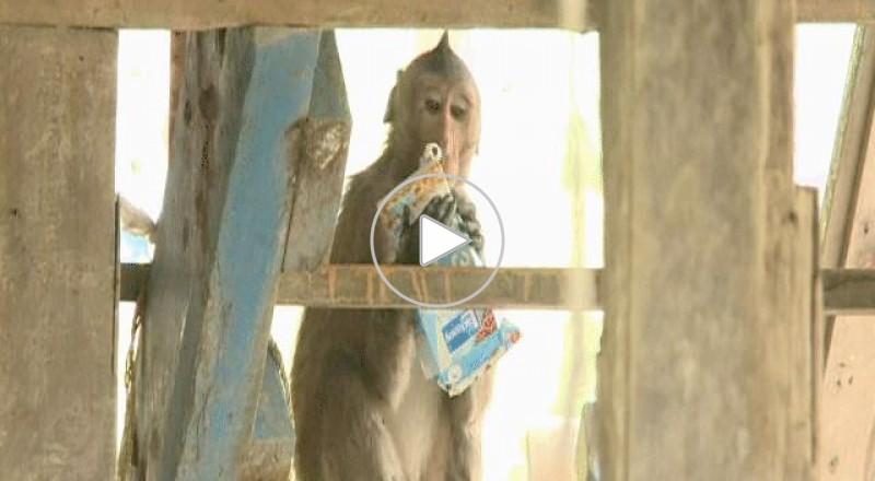 القردة تهاجم منازل في تايلاند
