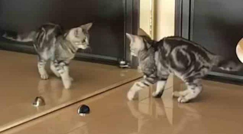 قط يبحث عن نفسه أمام المرآة