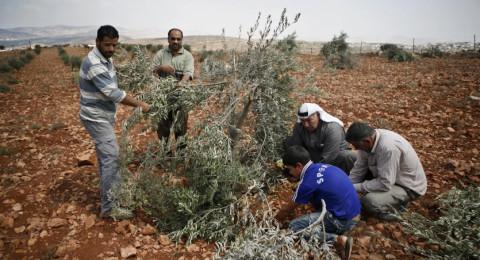 مستوطنون يقطعون عشرات اشجار الزيتون