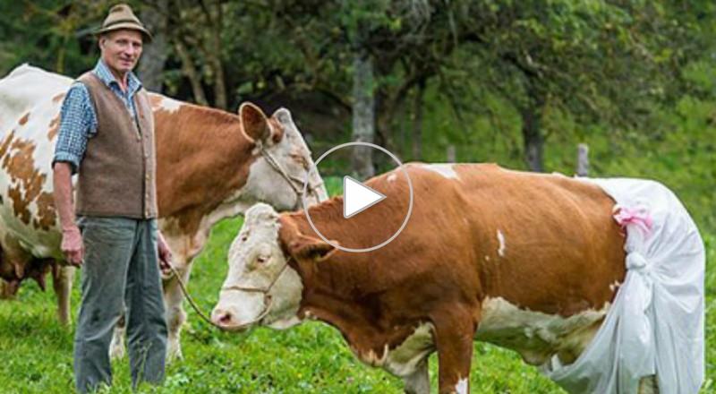 مزارع في ألمانيا يلبس أبقاره حفاضات استجابة لقانون البيئة الأوروبي