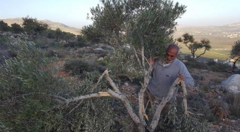 المستوطنون يقتلعون أشجار زيتون في نابلس