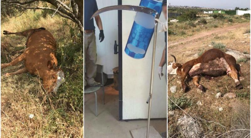 اعتقال 3 مواطنين من يافة الناصرة بشبهة قتل 7 بقرات في مرج بن عامر!