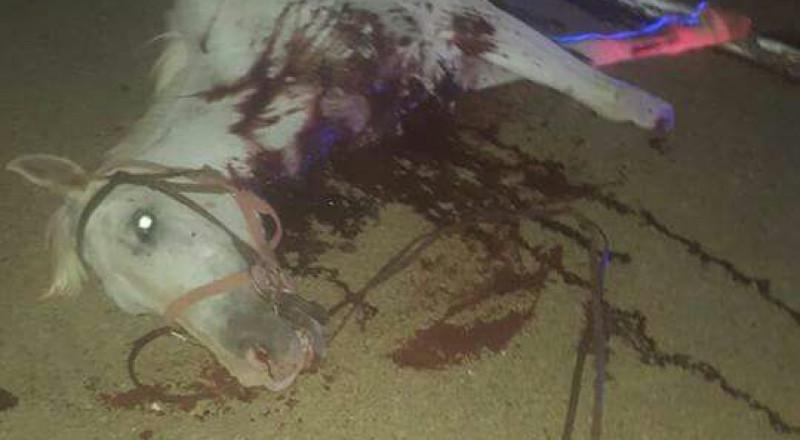الشمال: حادث طرقات يسفر عن مقتل فرس واصابة الفارس بجروح بالغة