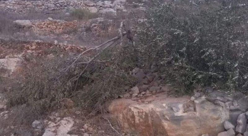 مستوطنون يقطعون عشرات أشجار الزيتون غرب بروقين