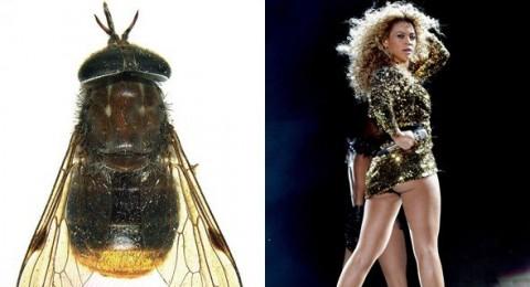 بيونسي اسم لذبابة نادرة ذات مؤخرة ذهبية