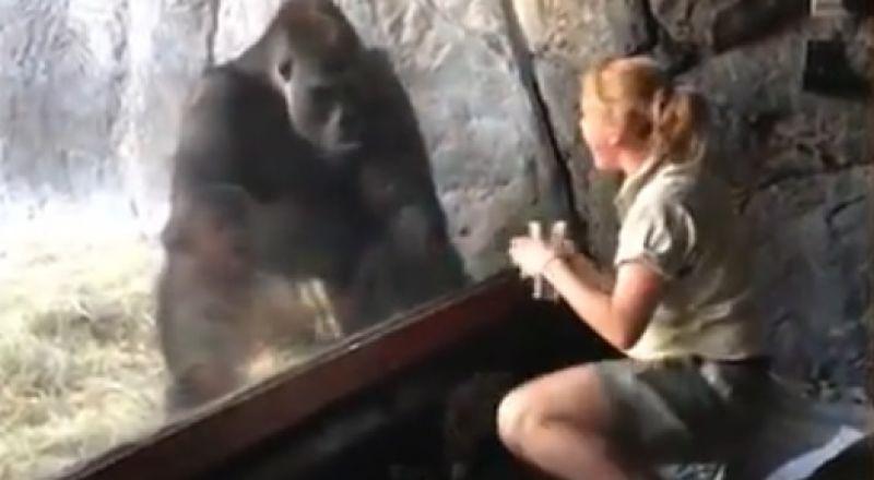 ذكر غوريلا يحتضن مدربته عبر الزجاج ويقلد حركاتها