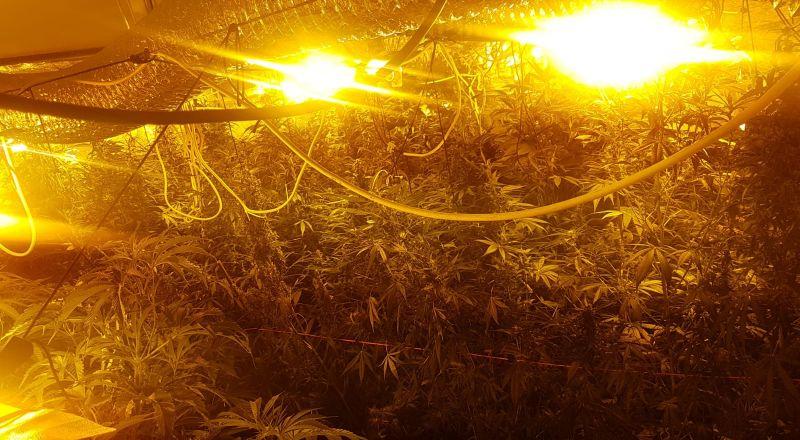700 شتلة مخدرات داخل شقة في الطيرة!