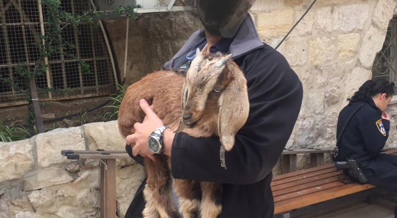 القدس: توقيف يهودي بطريقه لتقديم جدي كقربان لعيد الفصح