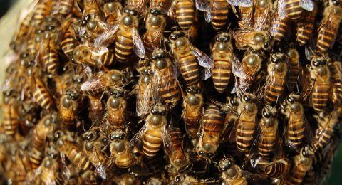 دراسة: سم النحل يعالج الأكزيما