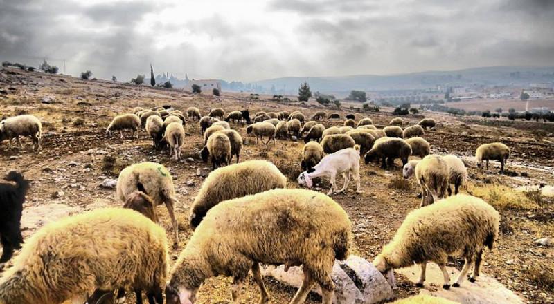 مستوطنون يسرقون عشرات الأغنام في نابلس