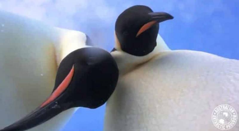 سيلفي طريف لبطريقين في القارة الجنوبية