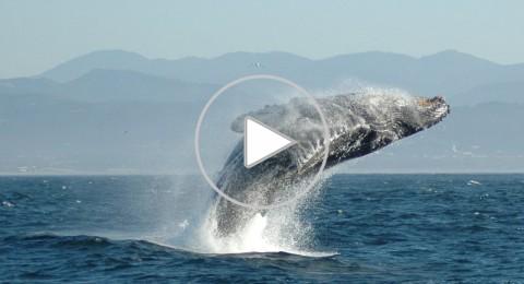 الحوت الأحدب يشكل ألوان قوس قزح في جنوب كاليفورنيا