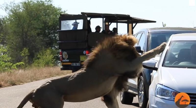 أسد يهاجم السياح بعد أن صدته لبؤة