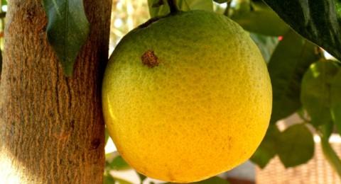 الليمون مضاد للسرطان ويُحسن المزاج