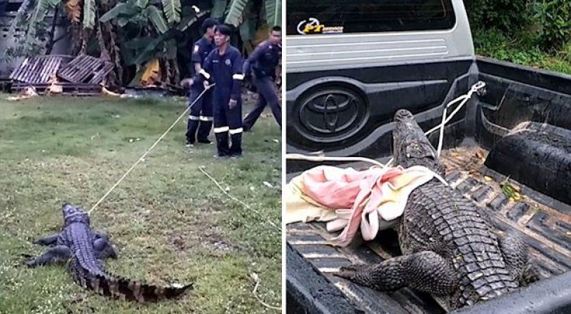 تمساح يُهاجم عمال الإنقاذ أثناء إخراجه من منزل في تايلاند
