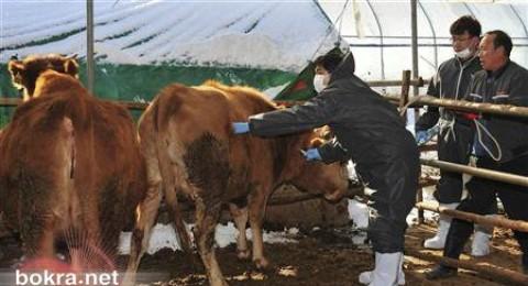 كوريا الجنوبية تعدم 15 % من الخنازير والماشية بسبب الحمى القلاعية