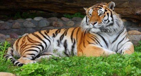 كشف جينوم نمر يعيش في غابات أقصى شرق روسيا