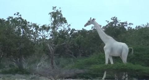 زرافات نادرة بيضاء اللون تظهر في كينيا