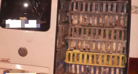 اعتقال نصراوي وآخر من الرامة بعد ضبط طيور ومواشي معهما