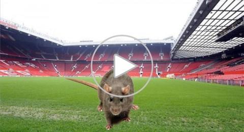 الفئران تهاجم ملعب اولد ترافورد!