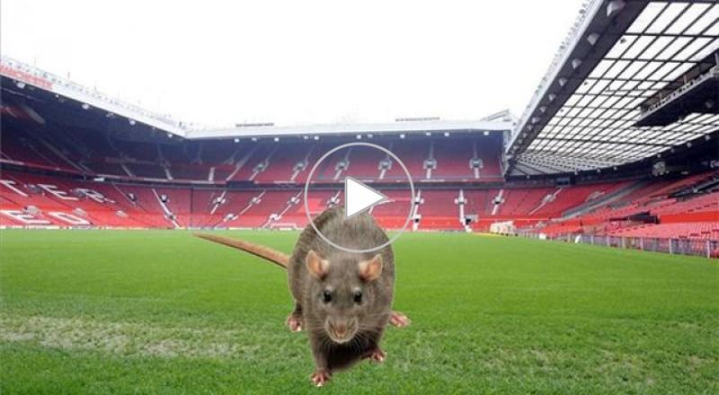 الفئران تهاجم ملعب اولد ترافورد