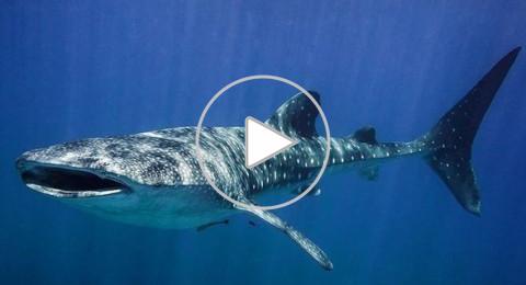 فيديو وصور .. سمكة قرش ضخمة تحتل خليج إيلات