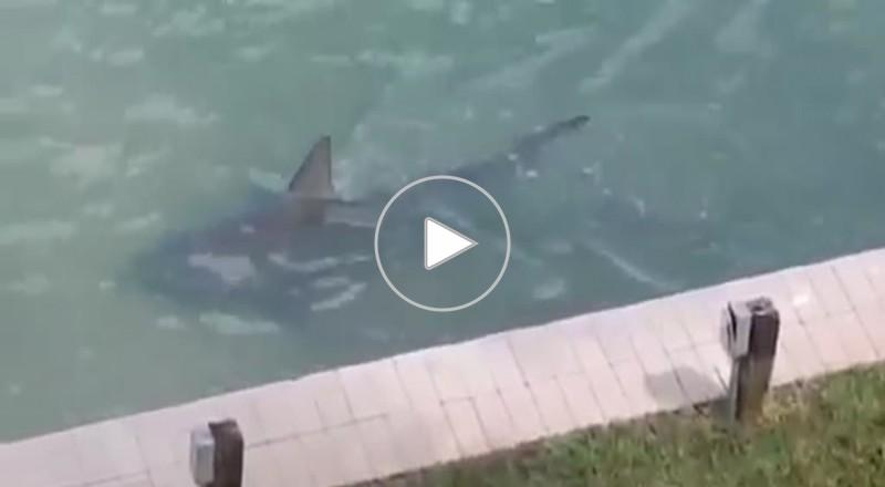 فيديو: سمكة قرش تسبح في حوض منزل
