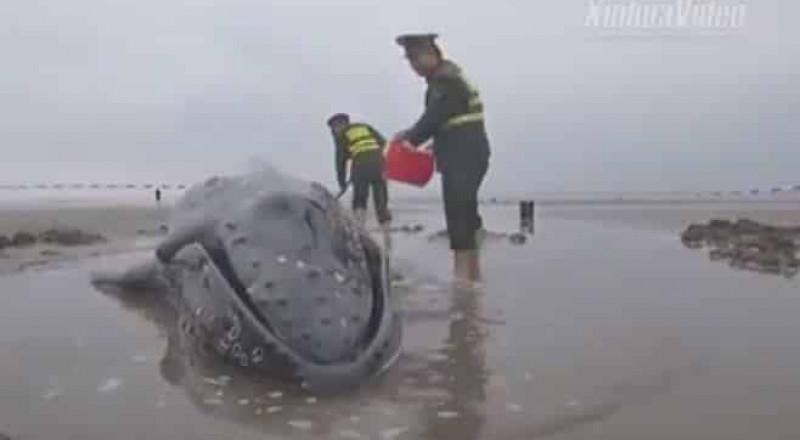 """السلطات الصينية تنقذ """"حوتاً"""" قذفته الأمواج على الشاطئ وتعيده للبحر"""