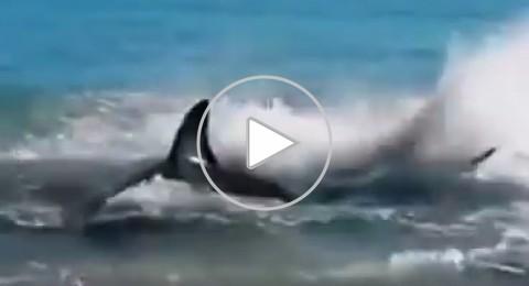 شاهدوا: سمكة قرش تبتلع أسدا وتموت