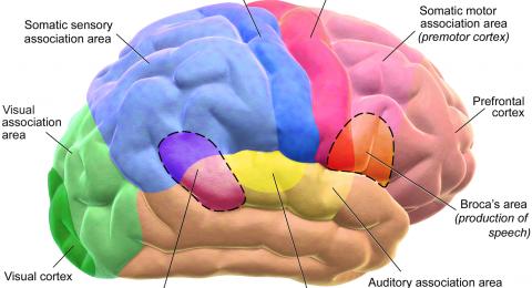 مادة غذائية تحسّن عمل الدماغ.. ما هي؟