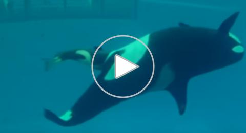 لحظة نادرة لولادة صغير الحوت القاتل