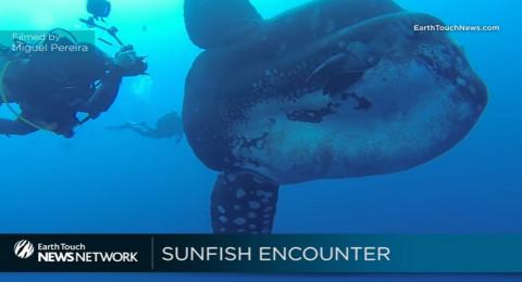 اكتشاف أنواع ضخمة من سمك شمس المحيط