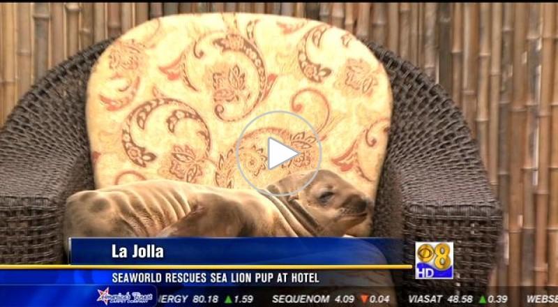 أسد بحر.. يستلقي في مقهى فندق فخم في كاليفورنيا