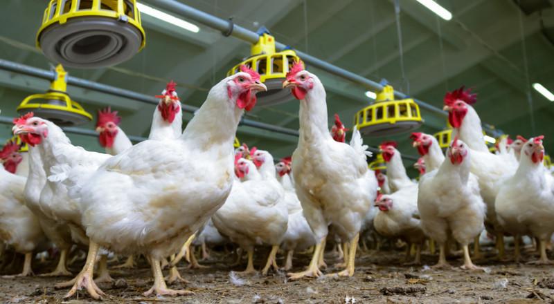 الإمارات تحظر استيراد دواجن حية من السعودية بسبب إنفلونزا الطيور
