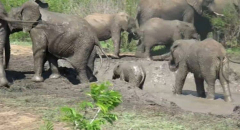فيل صغير يكافح للخروج من حفرة طينية