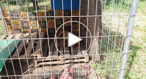بالفيديو: اعتقال فتى كان ينظم معارك بين الكلاب في مجد الكروم