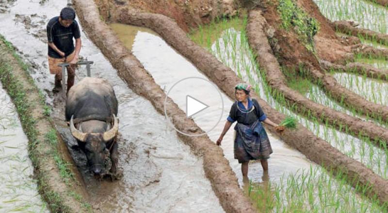 الأرز قد يتسبب في سقوط الحكومة التايلاندية