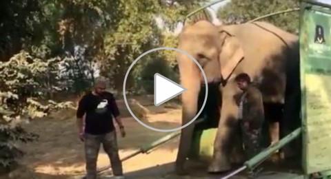 أنثى فيل تحصل على حريتها بعد 40 عامًا