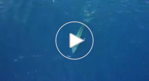 لأول مرة الحوت الأزرق يظهر بالبحر الأحمر