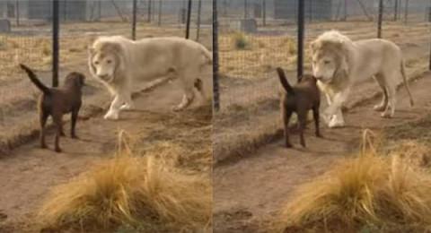 عِشْرة بين أسد وكلب تتغلب على غريزة العداء