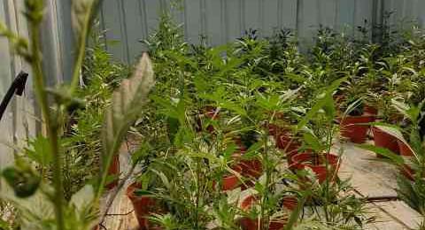 الطيبة: ضبط نباتات من مخدر المريحوانا واعتقال مشتبهين