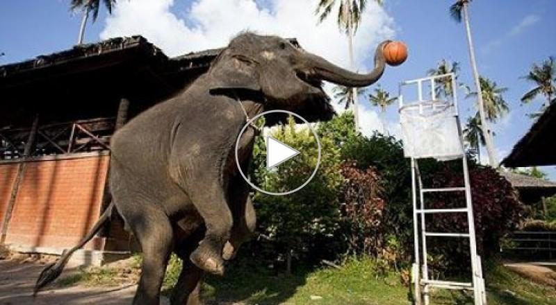 فيلة تلعب كرة السلة بتايلاند