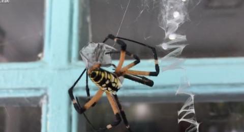عنكبوت عملاق يفترس آخر بتقنية مميزة!