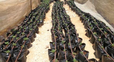 اعتقال سيدة من النقب بشبهة زرع 2310 شتلة كنابيس!